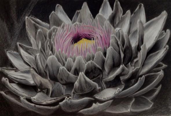 """""""Artischocke"""" 2014, Farbstift auf Papier, 30x40cm"""
